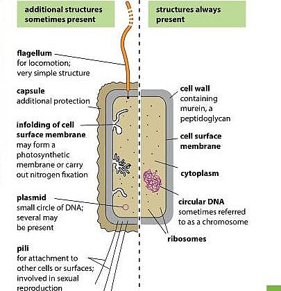 Prokaryotic cell labeled diagram showing the structures always present in all prokaryotes and those that are sometimes present