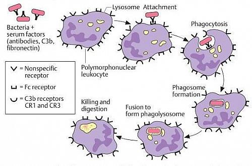 Steps and Mechanism of Phagocytosis