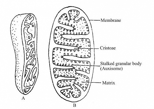 Photo of Mitochondria Function, Location, Mitochondria Diagram and Mitochondrion Structure