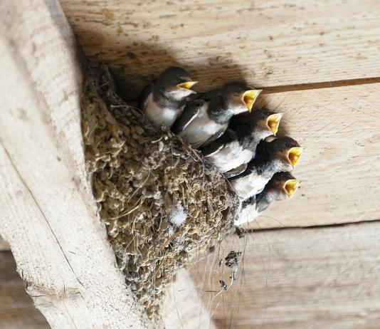 BFVW: 'Vroege droogte zorgt voor problemen bij nestelende vogels'