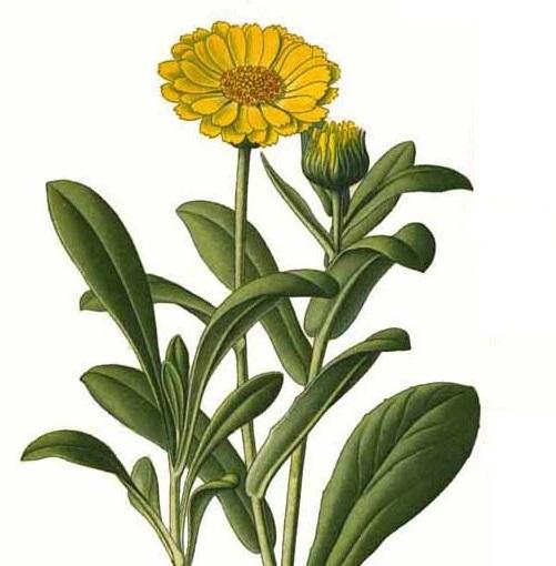 calendula fleur