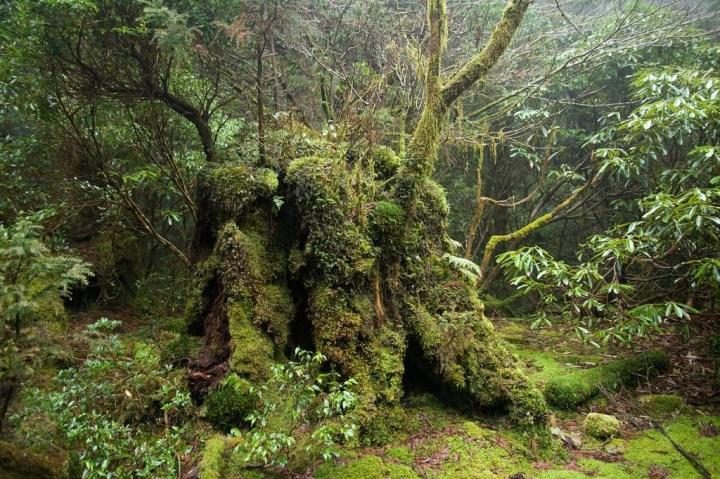En forêt, à Yakushima - photo Σ64