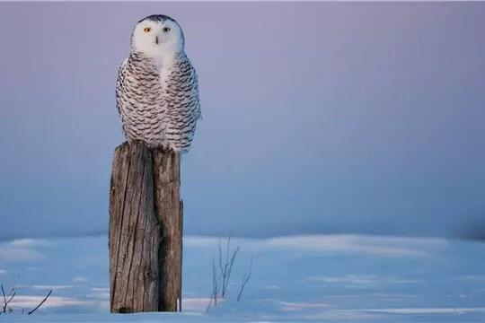 fond ecran chouette oiseau neige