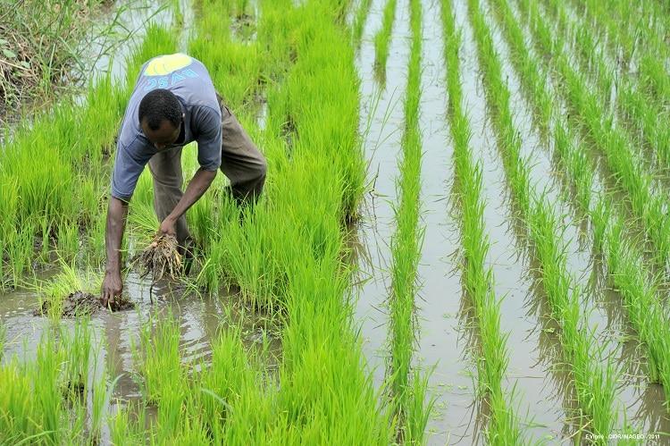 « L'Afrique représente 10% de la population mondiale, mais absorbe environ 30% des importations mondiales deriz/importations de riz/Record historique de production de riz en Afrique