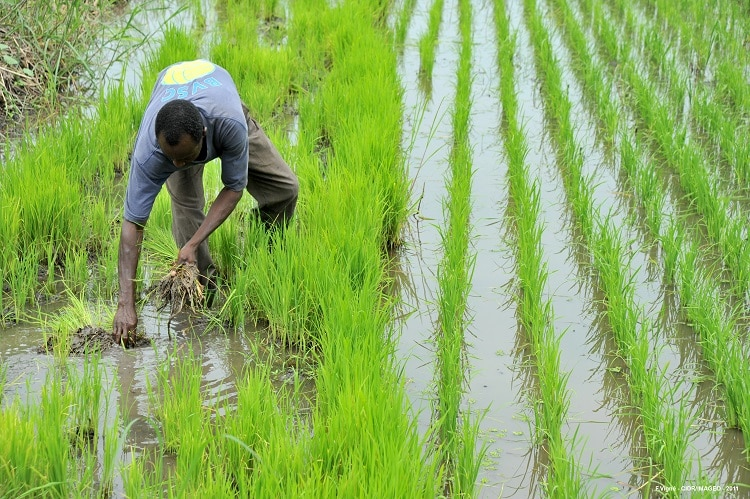 importations de riz/Record historique de production de riz en Afrique