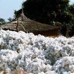 producteurs de coton