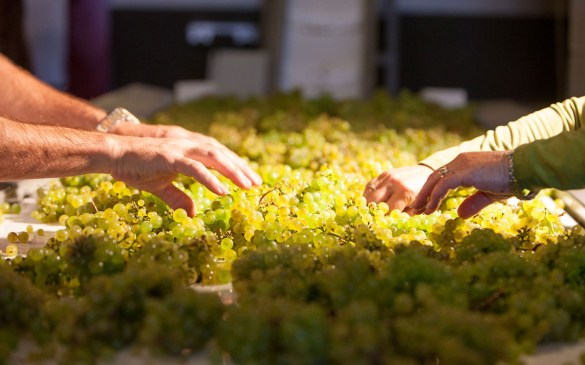 sorting-grapes-chardonnay
