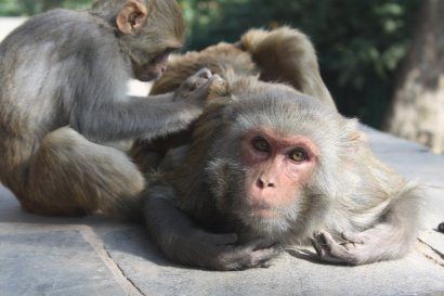 Macaques grooming