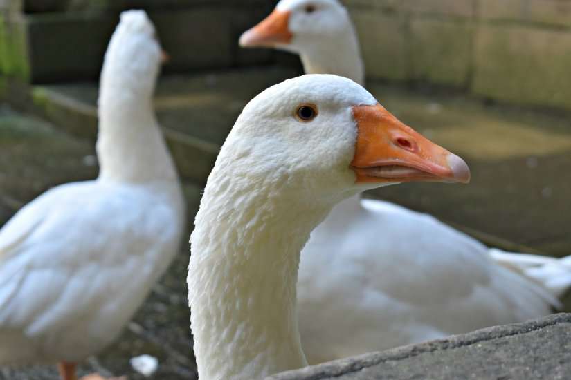 Geese that live inside of La Catedral
