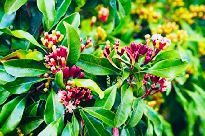 Spicy Cloves Deliver Healing Benefits
