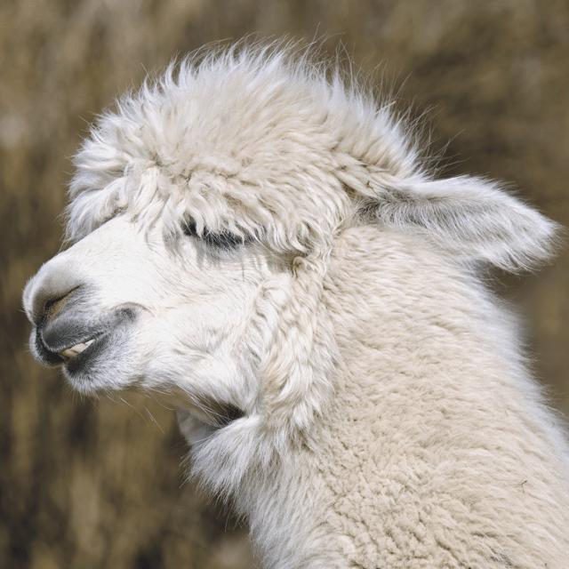 Alpaca Wool Dryer Balls