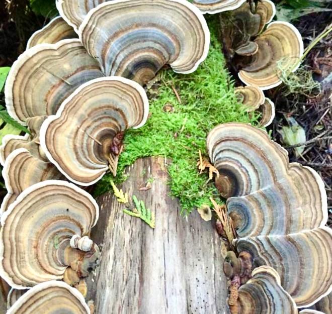 Seven Superfood Mushrooms turkey tail