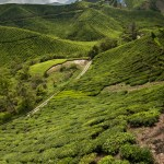 The stunning green of the Sungai Paras Boh Tea Estate, Cameron Highlands