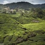 Sungai Palas Boh Tea Plantation