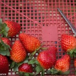 Royal Berry Strawberry Farm