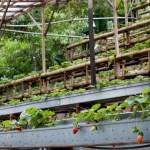 Royal Berry Strawberry Farm