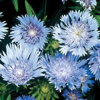 Zoom View for Blue Stokess Aster Seeds