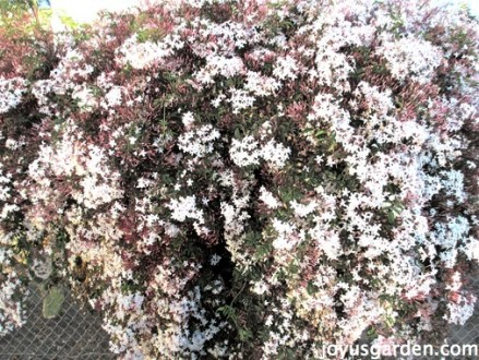How To Care For The Sweet Pink Jasmine Everybody Loves     How To Care For The Sweet Pink Jasmine Everybody Loves