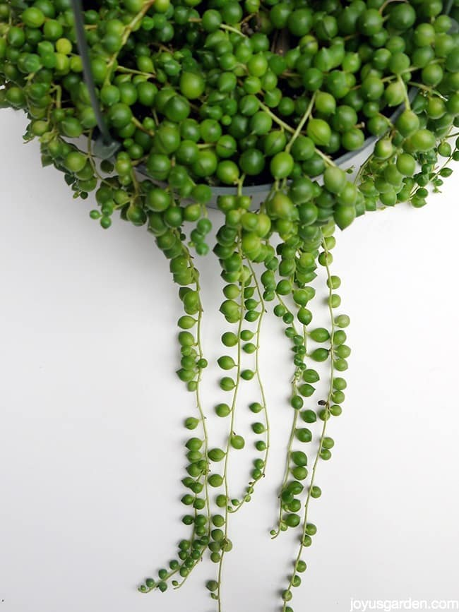 String Of Pearls This Fascinating Beauty Makes A Great Houseplant