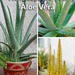How To Care For An Aloe Vera Plant Joy Us Garden