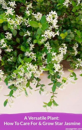 A Versatile Plant  How To Care For   Grow Star Jasmine     close up of a beautiful jasmine vine in full flower the text reads How To  Care