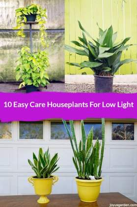 10 Easy Care Houseplants For Low Light     two pothos neon a cast iron plant and two snake plants in yellow pots the  text