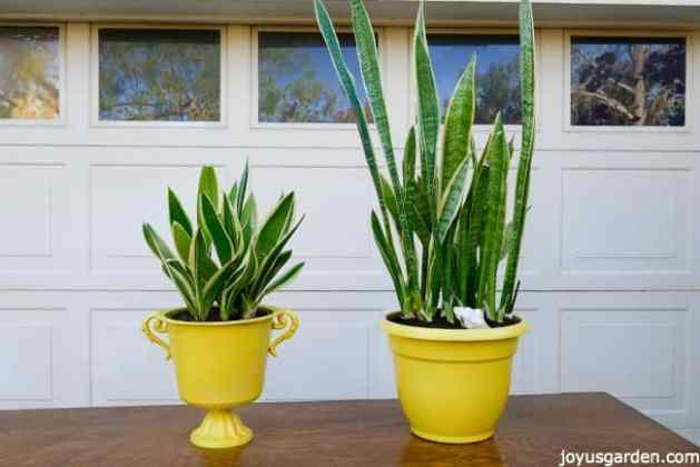 Repotting Snake Plants  The Mix To Use   How To Do It     2 snake plants in yellow pots sit on a table in front of a garage door