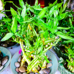 Growing Lucky Bamboo 24 Things To Know About Caring