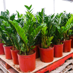 Zz Plant Care Tips A Tough As Nails Glossy Houseplant