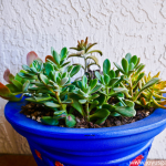 How To Transplant Succulents Into Pots Joy Us Garden