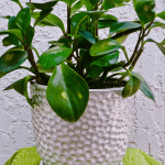 Pruning Propagating A Baby Rubber Plant