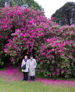 Rhododendron, Muckross House and Gardens