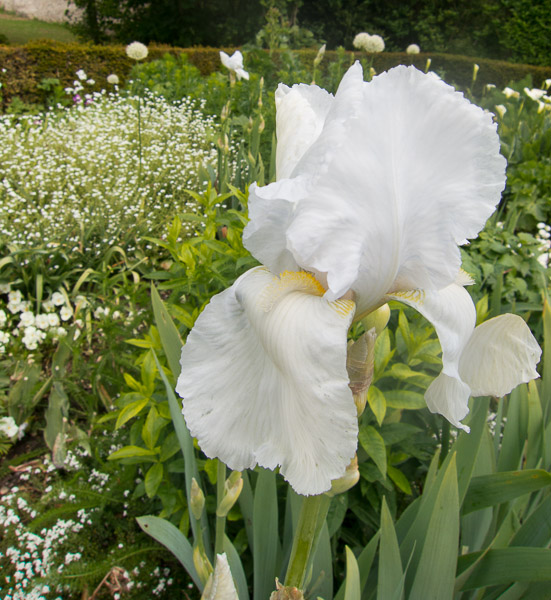 photo of white iris and other white flowers
