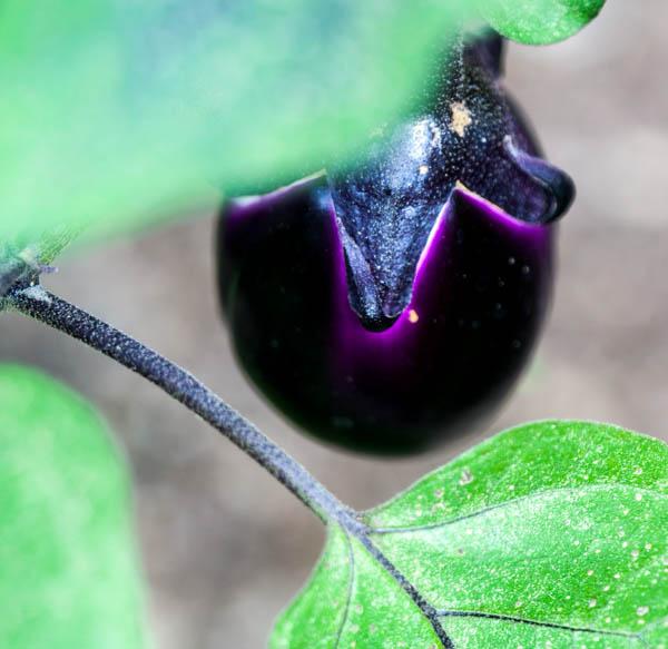 photograph of garden eggplant