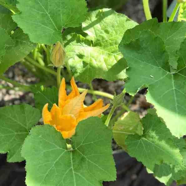 Zucchini Blossom Plant