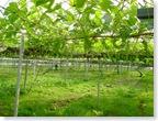 Сады Хоккайдо - виноград-2