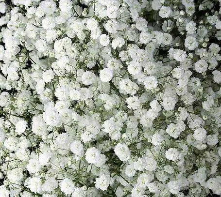 Baby S Breath Excellence Wholesale Flowers Jr Roses