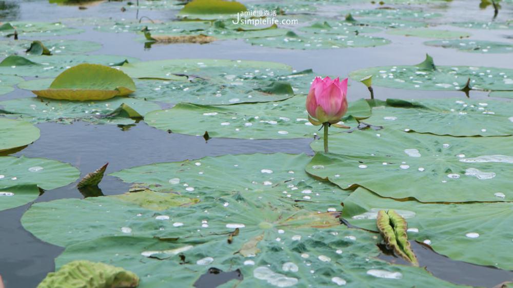 台東大坡池 湖上蓮花   台東池上