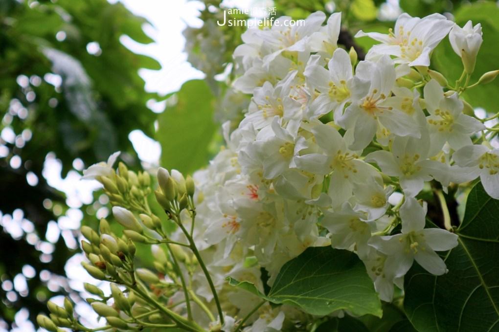 浪漫五月桐花雪!新竹湖口鄉「仁和步道」健行油桐花林 認識油桐花小教室