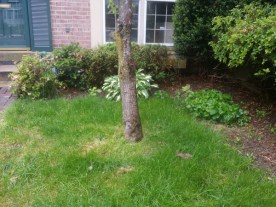 Before Tree Removal in Montgomery Village Maryland