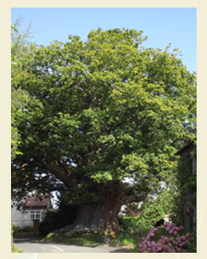Great Oak Tree, Eardisley Closeup - Ref L10