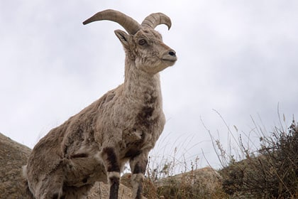 faune du ladakh 20 mammiferes