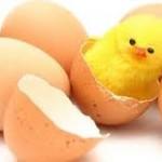 Telur Ayam Kapas Sukses di Tetaskan Pak Priana di Mapanget Manado