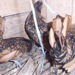 Ayam Batik Kanada yang Unik