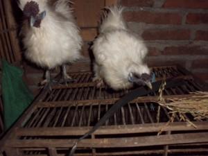 Ayam-Kapas-Indukan-2.JPG