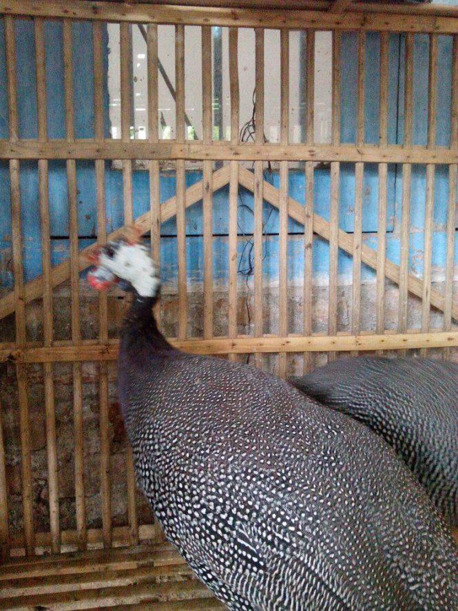 Ayam Mutiara Indukan