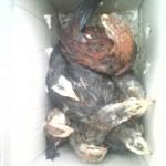 Ayam Phoenix Umur Dua Bulan Titipan Pelanggan Setia dari Pulau Sabang Aceh