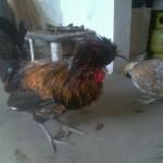Indukan Ayam Polan atau Ayam Mahkota Pesanan Mas Rudy di Taktakan, Serang, Banten