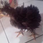 Ayam Polan Walik Tanduk Umur 2 Bulan Titipan Pelanggan Setia dari Pulau Sabang Aceh