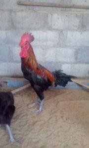 Indukan Ayam Pelung Jantan